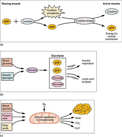 Energy sources and metabolism during exercise