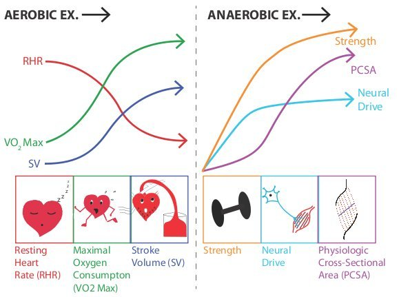 obic_Exercise_Adaptations